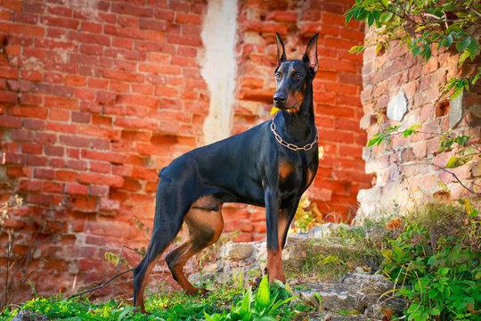 दुनिया के 10 सबसे खतरनाक कुत्ते Doberman Pinscher