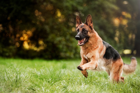 दुनिया के 10 सबसे खतरनाक कुत्ते जर्मन शेपर्ड (German Shepherd)