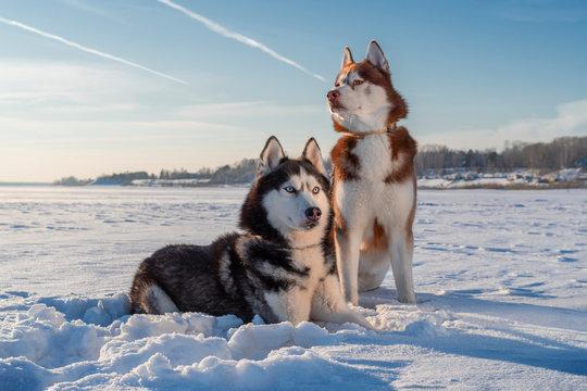 दुनिया के 10 सबसे खतरनाक कुत्ते Siberian Husky